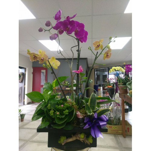 Purple Orchid 102